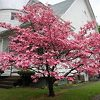 Pink Dogwood Tree In Front Yard