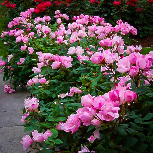 Pink Knockout Rose Bushes For Sale Online The Tree Center