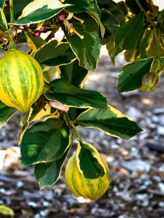 Variegated Pink Lemon Tree