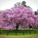 Pink Weeping Cherry Tree In Bloom