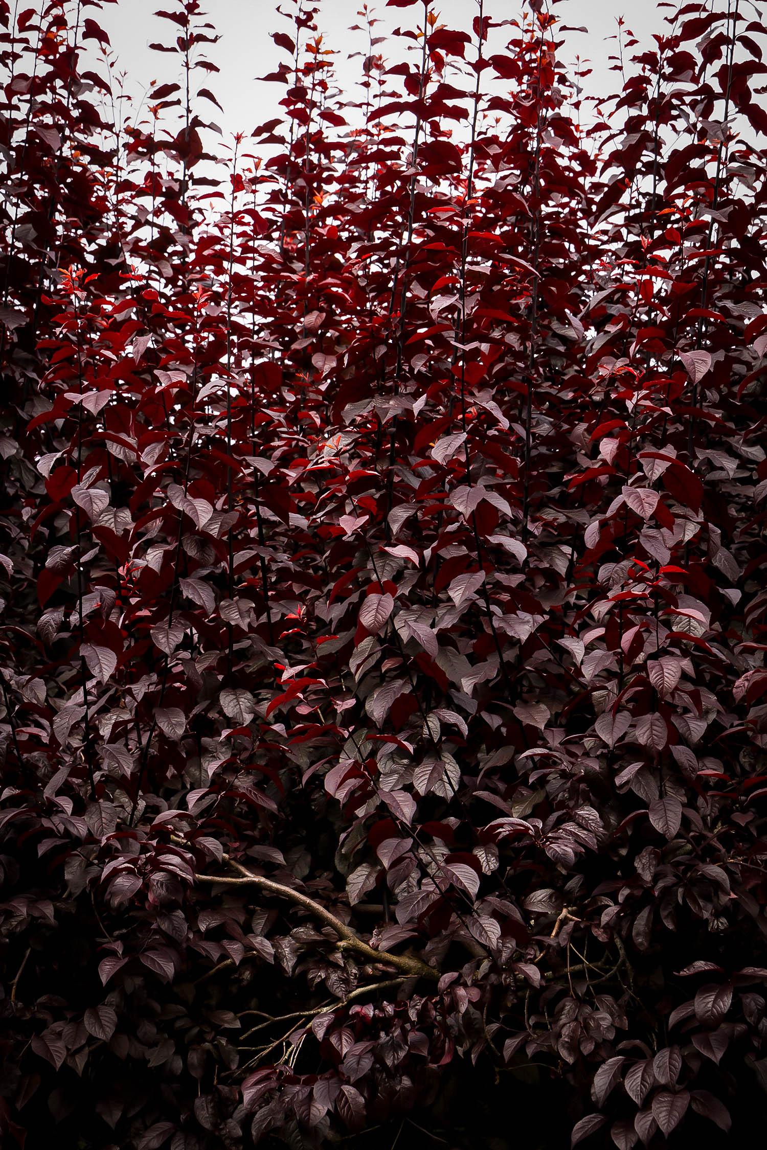 Krauter Vesuvius Purple Leaf Plum Trees For Sale The Tree Center