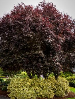 Thundercloud Purple Leaf Plum Tree