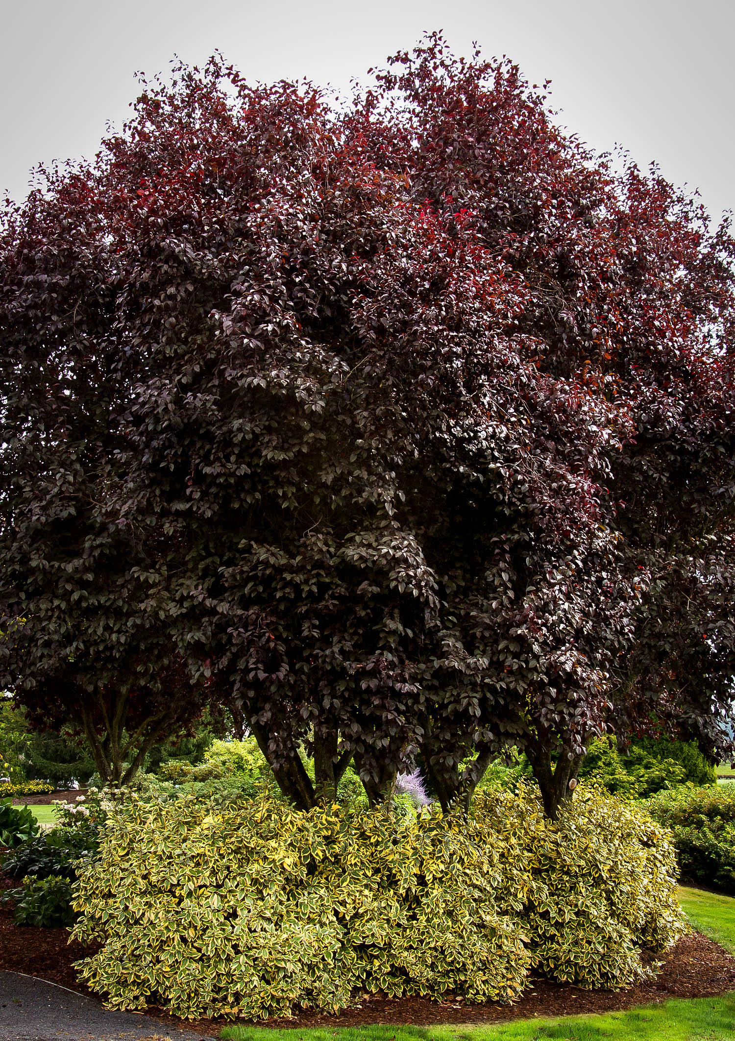 Thundercloud Purple Leaf Plum Trees For Sale The Tree Center