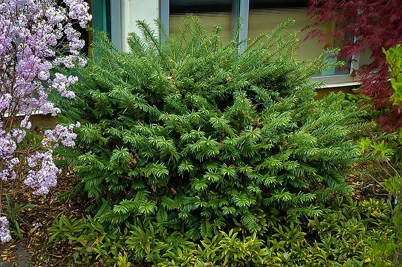Duke Gardens Plum Yew Trees For Sale The Tree Center
