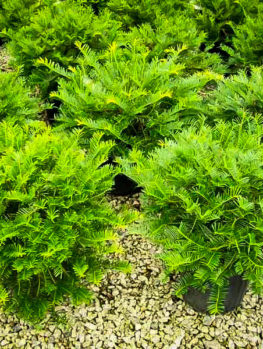 Prostrate Japanese Yew