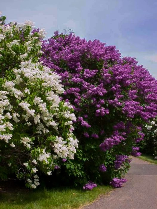 Pocahontas Canadian Lilac