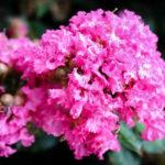 Pocomoke Crape Myrtle Flowers