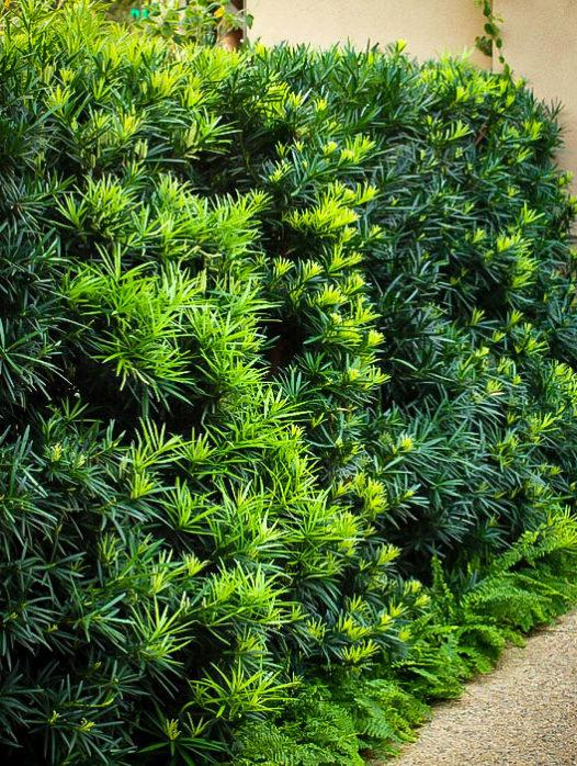 Maki Podocarpus