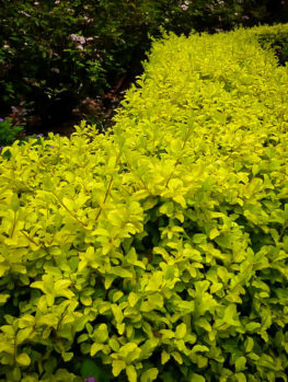 Sunshine Privet