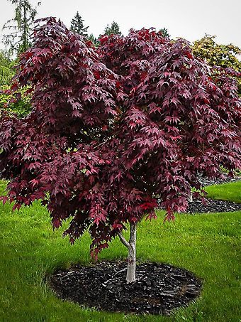 Upright Purple Ghost Japanese Maple Tree