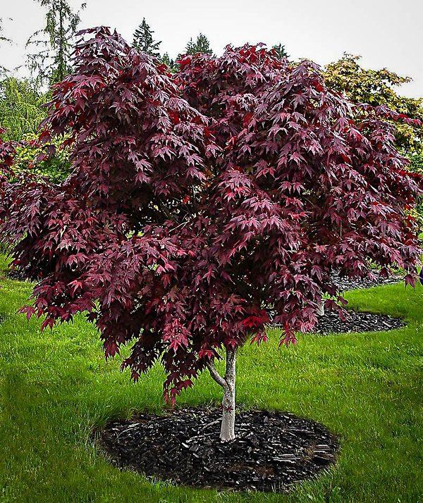 Upright Purple Ghost Japanese Maple Tree