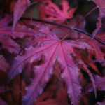 Purple Ghost Japanese Maple Leaves