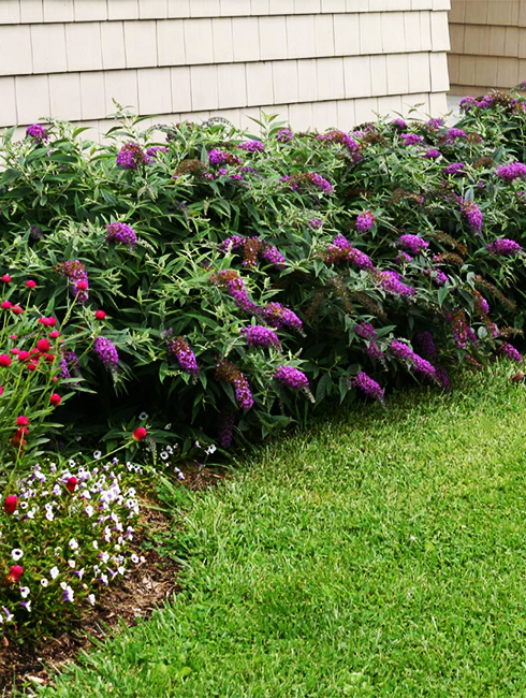 Purple Haze Butterfly Bush