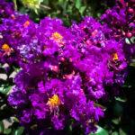 Purple Magic Crape Myrtle Flower