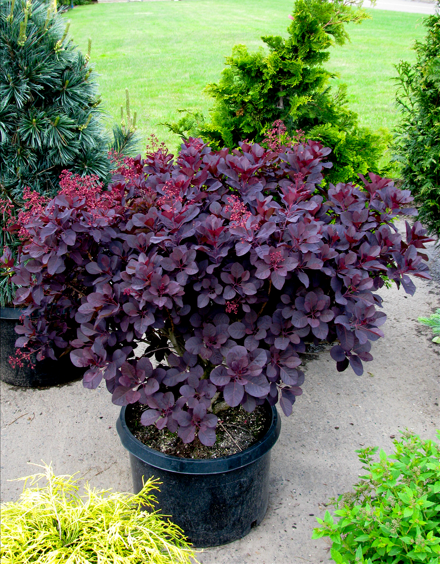 Purple Supreme Smoketree For Sale Online The Tree Center