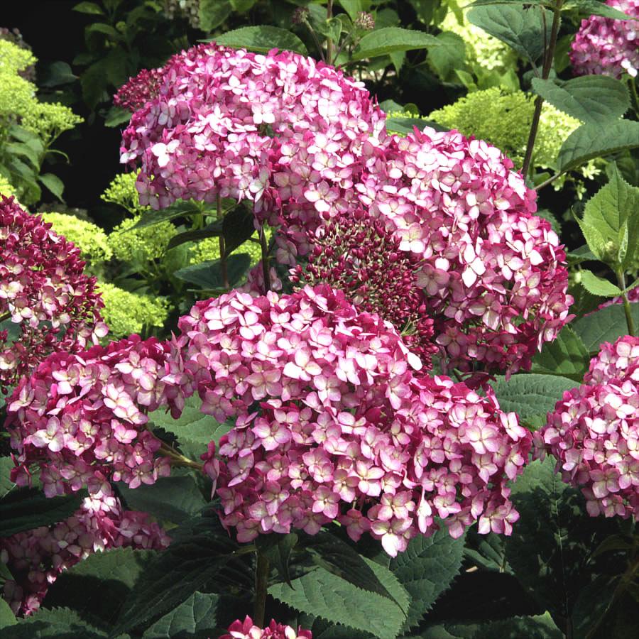 Invincibelle Ruby Hydrangea For Sale Online The Tree Center