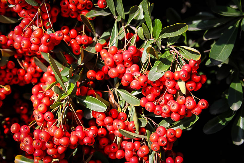 Victory Pyracantha Firethorn Plants For Sale The Tree Center