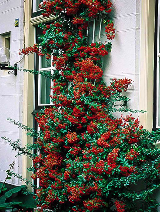 Victory Pyracantha (Firethorn)