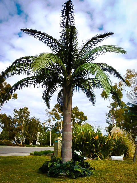 Queen Palm Trees For Sale Online The Tree Center