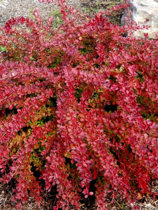 Barberry Shrubs Buy Barberry Shrubs Online The Tree Center