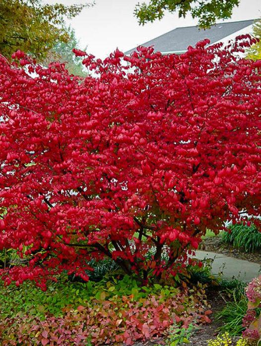 Aronia Red Chokeberry