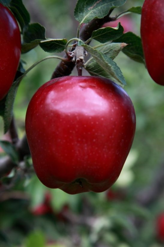 Red Delicious Apple On Tree Branch