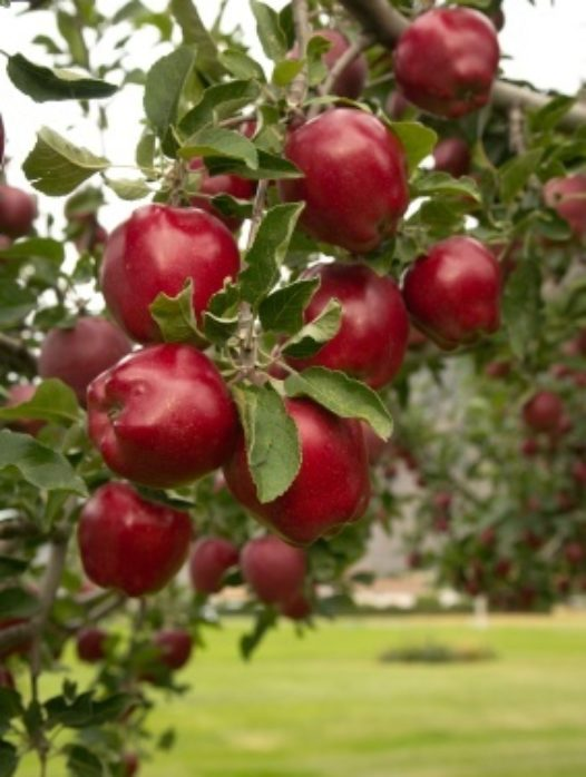 Red Delicious Apple Tree