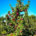 Adolescent Red Delicious Apple Tree