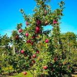 Adolescent Red Delicious Apple Tree