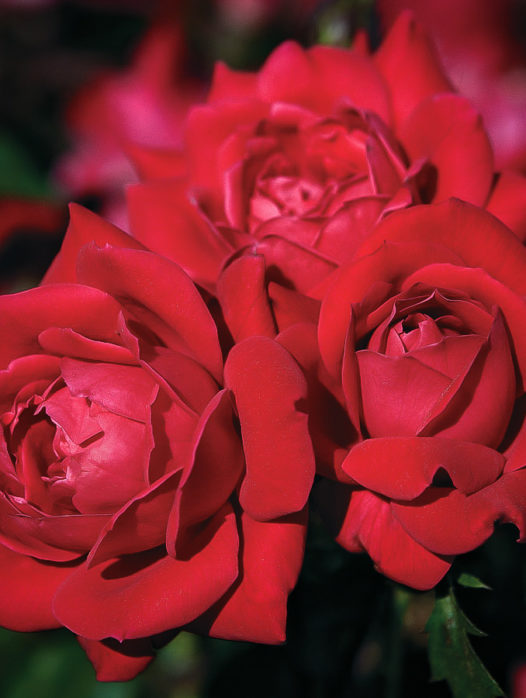 Red Double Knock Out Rose – Tree Form