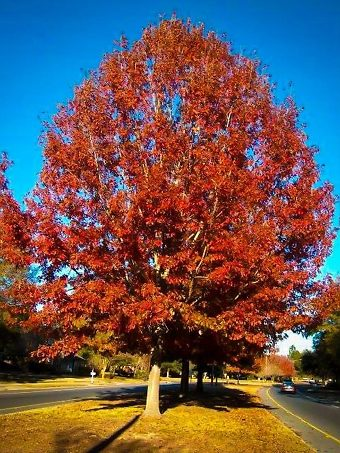 Red Oak In Fall
