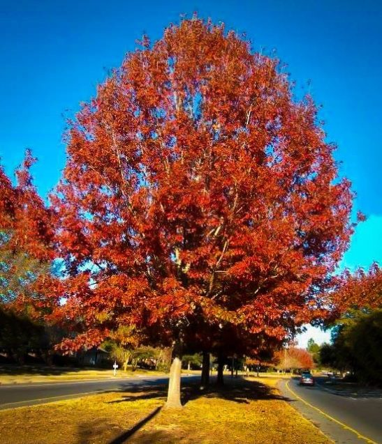 Red Oak In Fall