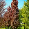 Group of Red Obelisk European Beech Tree