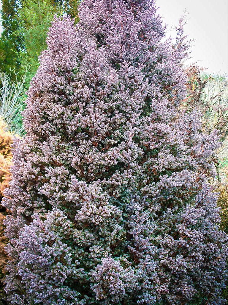 Red Star White Cedar