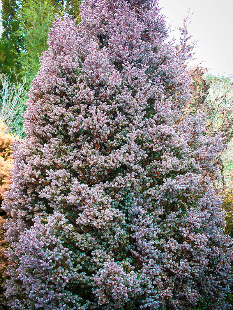 Red Star White Cypress For Sale Online The Tree Center