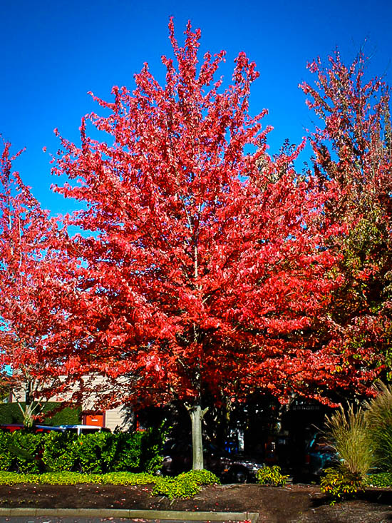 Red Sunset Red Maple Trees For Sale The Tree Center