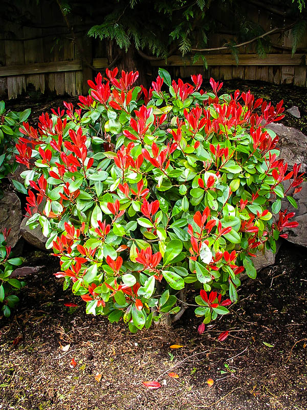 Red Tip Photinia For Sale The Tree Center