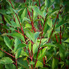 Red Twig Dogwood With Leaves