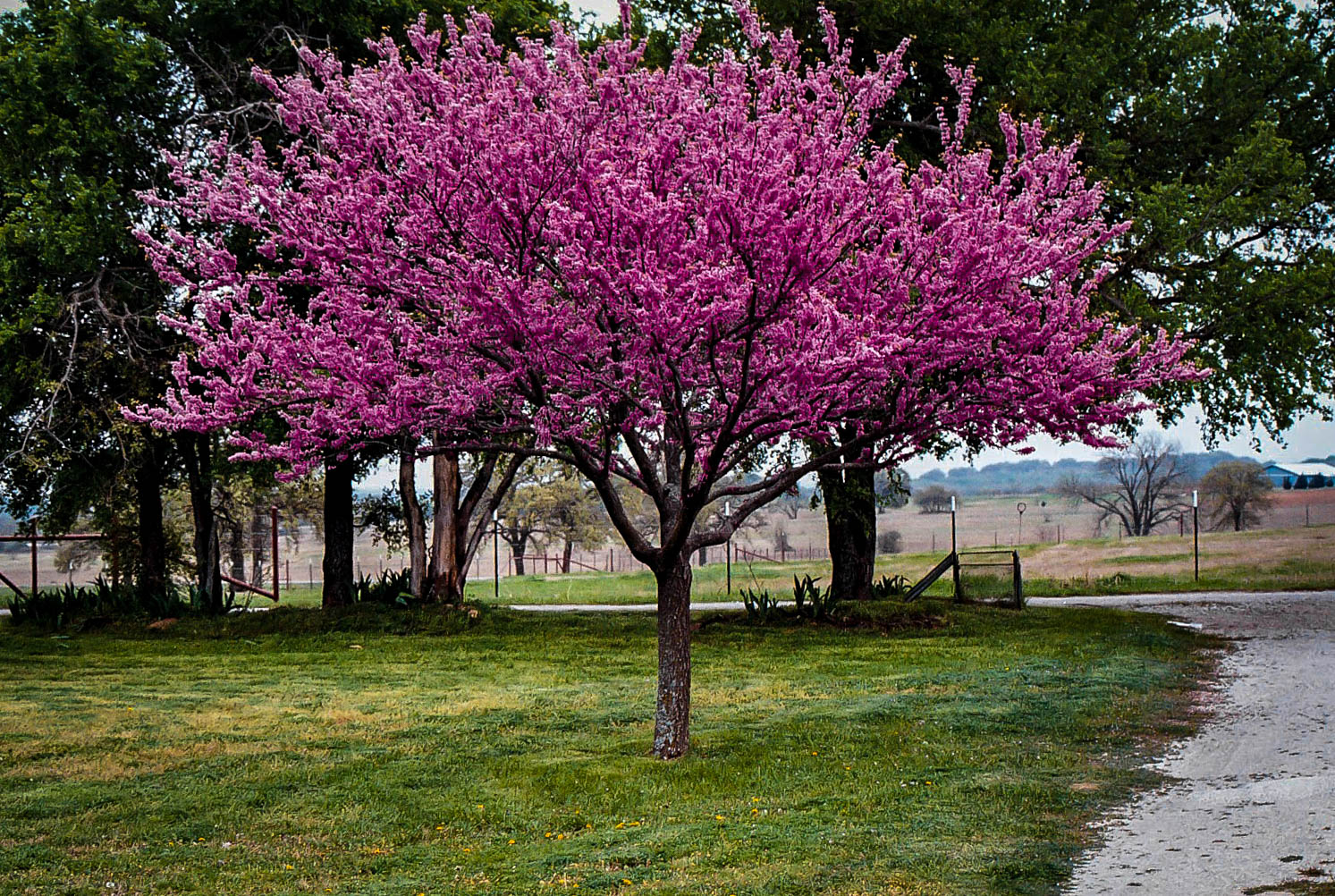 Appalachian Redbud Trees For Sale Online The Tree Center