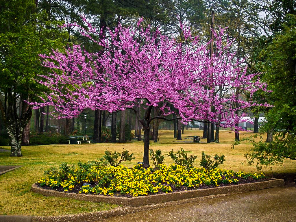 Forest Pansy Redbud Trees For Sale The Tree Center