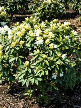 Lemon Ice Rhododendron Chionoides
