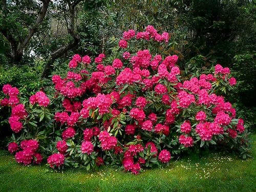 Nova Zembla Rhododendron For Sale The Tree Center