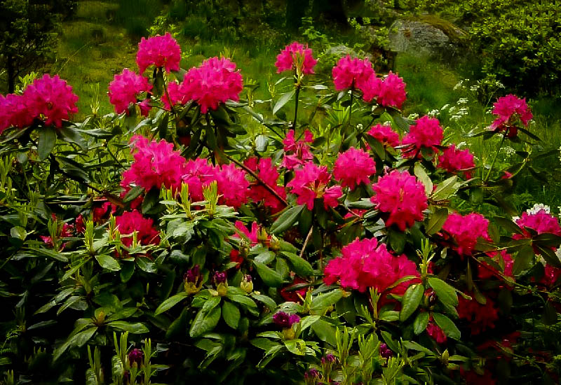 Nova Zembla Rhododendron For Sale The Tree Center