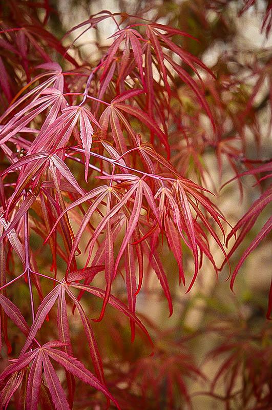 Ribbon Leaf Japanese Maple