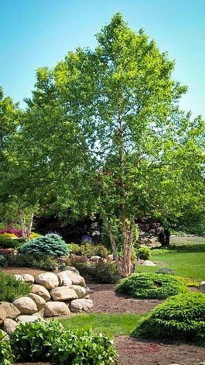 River Birch For Sale Online The Tree Center