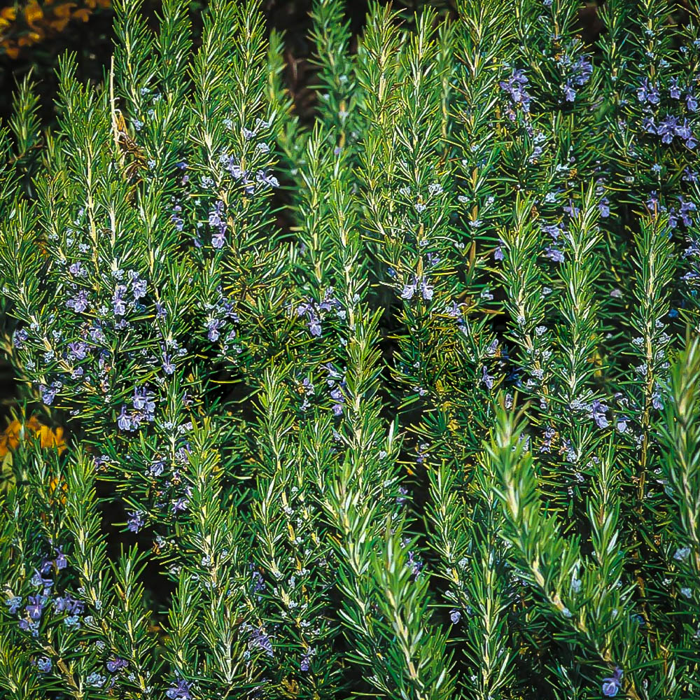 Tuscan Blue Rosemary Bushes For Sale The Tree Center