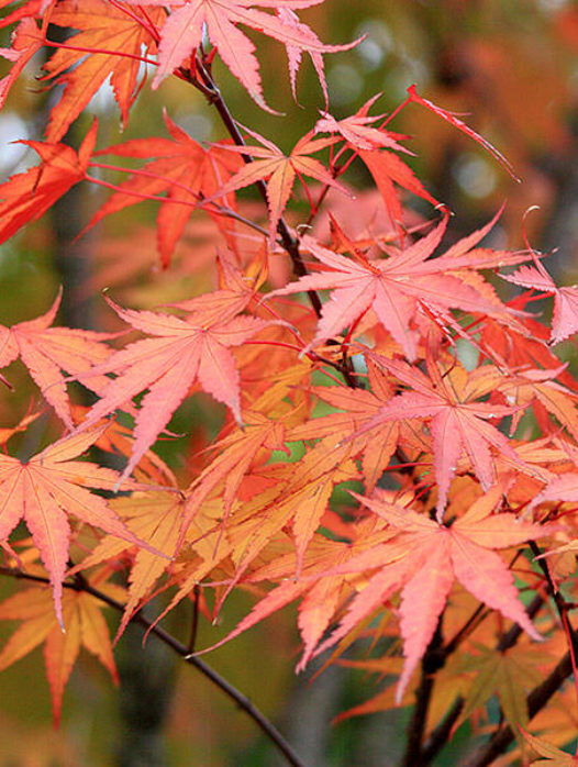 Rough Barked Japanese Maple