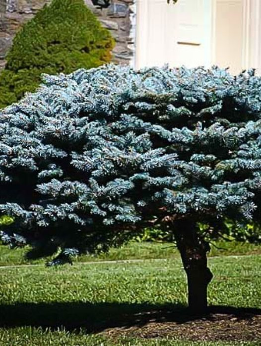 Globe Blue Spruce Shrub