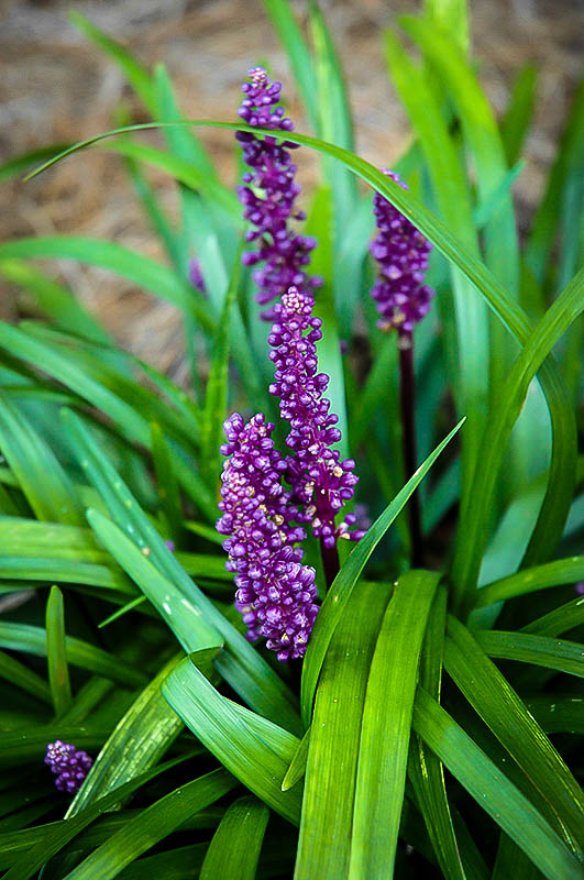 Royal Purple Liriope Plants For Sale Online The Tree Center