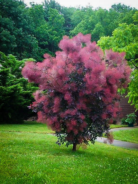 Royal Purple Smoke Trees For Sale Online The Tree Center